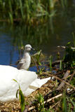 Cygnet. A young cygnet with its mother on its nest Stock Image
