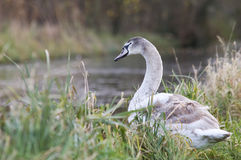 A cygnet. By the river bank stock photos