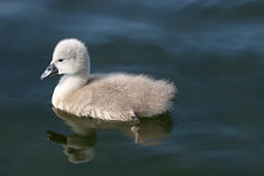 Cygnet Royalty Free Stock Image