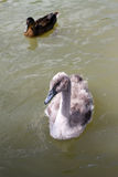 Cygnet. A young sygnet in a small lake in england Royalty Free Stock Photos