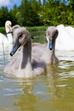 Cygnet. A young sygnet in a small lake in england Royalty Free Stock Images