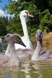 Cygnet. A young sygnet in a small lake in england Royalty Free Stock Photography