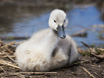 Cygnet. Young cygnet on nest, looking toward the camera Royalty Free Stock Photography