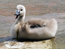 Cygnet Royalty Free Stock Photography