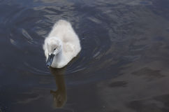 cygnet Photographie stock