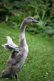Cygnet Royalty Free Stock Photos