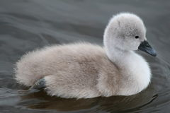 cygnet photos stock