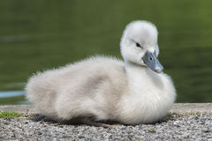 cygnet stockfotos