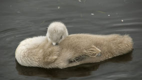 Cygnet afloat ,asleep. stock photography