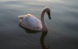 Cygnet all'indicatore luminoso #2 di tramonto fotografia stock libera da diritti