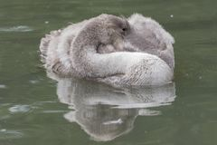 A cygnet on the boating lake on Southampton Common Royalty Free Stock Images