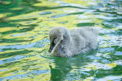 Cygnet in coloful pond Royalty Free Stock Photo