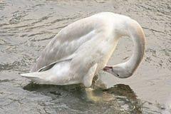 Cygnet da cisne da trompetista imagens de stock royalty free