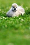 Cygnet da cisne preta foto de stock