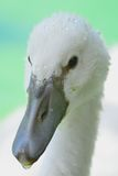 Cygnet. Head shot of a young cygnet Stock Photo