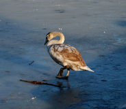 Cygnet on ice Stock Photos