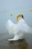 Cygnet looking at me and stand up Royalty Free Stock Images