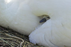 Cygnet Royalty Free Stock Images