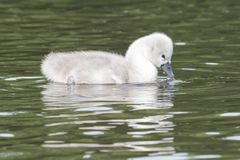 A cygnet on Southampton Common royalty free stock images