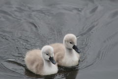 Cygnet. A pair of cute fluffy cygnets swimming in a lake Stock Photos