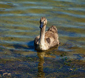Cygnet portrait, floating on lake waters Stock Photos