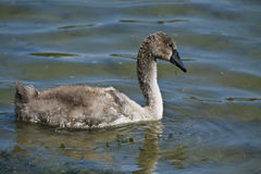 Cygnet portrait, floating on lake waters Stock Photography