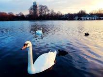 Cygnet romantic animal bird beautiful. White romantic animal bird nature Stock Images