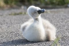 A cygnet shaking its head Stock Photography