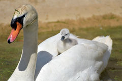 Free Cygnet Sitting On Back Of Swan Royalty Free Stock Photos - 60232858