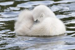 A cygnet sleeping on the Boating Lake at Southampton Common royalty free stock photography