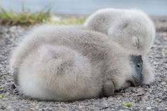 A cygnet sleeping beside the Boating Lake on Southampton Common stock photos