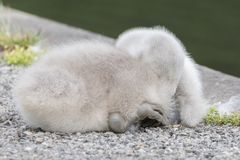 A cygnet sleeping beside the Boating Lake on Southampton Common royalty free stock photography
