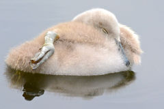 A cygnet sleeping on the water stock photos