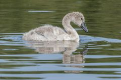 A cygnet on southampton common Stock Image