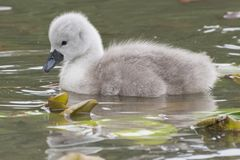 A cygnet on Southampton Common stock photos