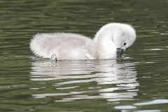 A cygnet on Southampton Common stock photography