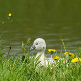 A cygnet is standing Royalty Free Stock Photography