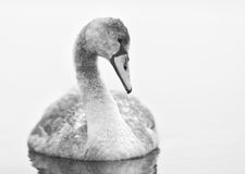 Cygnet Stares at Smooth Water in Black and White Stock Photo