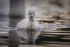 Cygnet in summer Royalty Free Stock Photo