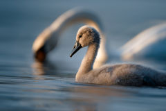 Cygnet and Swan on Blue Water Royalty Free Stock Photography