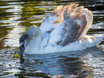 Cygnet Swan eating Royalty Free Stock Photo