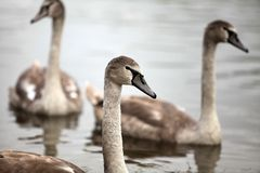 Cygnet Stock Images