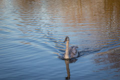 Cygnet swan swimming strongly across the lake. Stock Photos