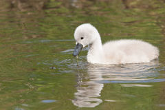 A cygnet is swimming Royalty Free Stock Photo