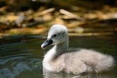 Free Cygnet Swimming In The Water Stock Images - 105905294