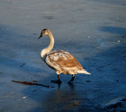Cygnet walking on ice Stock Images
