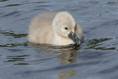 Cygnet on water. Cygnet on the boating pond at Southampton Common Royalty Free Stock Images