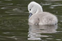 A cygnet on the water royalty free stock image