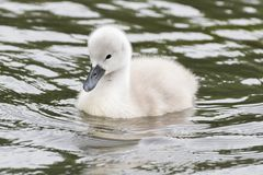 A cygnet on the water royalty free stock photography