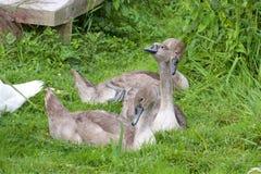 Cygnets безгласного лебедя Стоковая Фотография